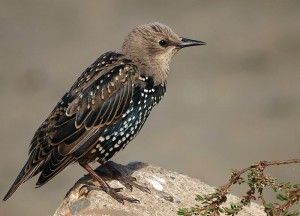 800px-Sturnus_vulgaris_-California-8